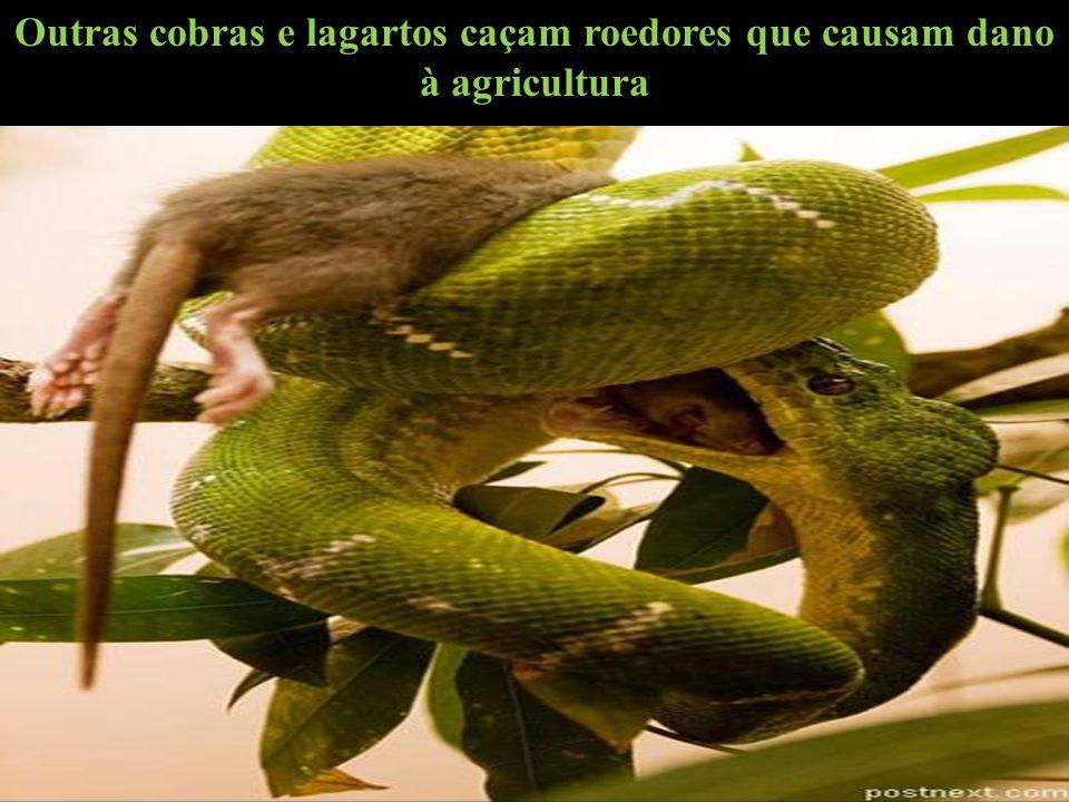 Outras cobras e lagartos caçam roedores que causam dano à agricultura