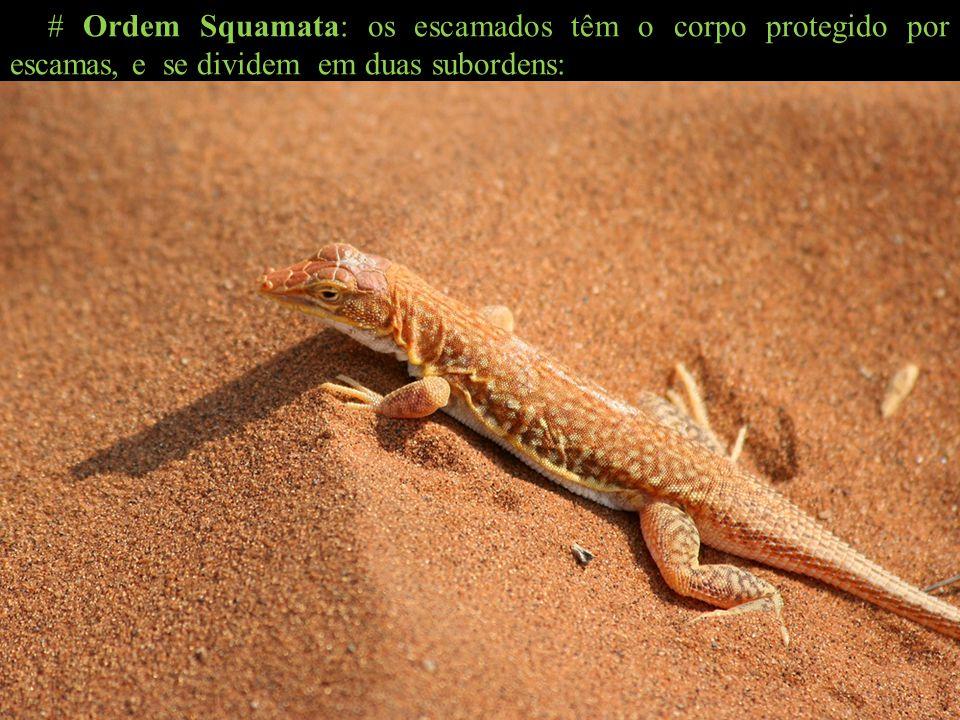 # Ordem Squamata: os escamados têm o corpo protegido por escamas, e se dividem em duas subordens: