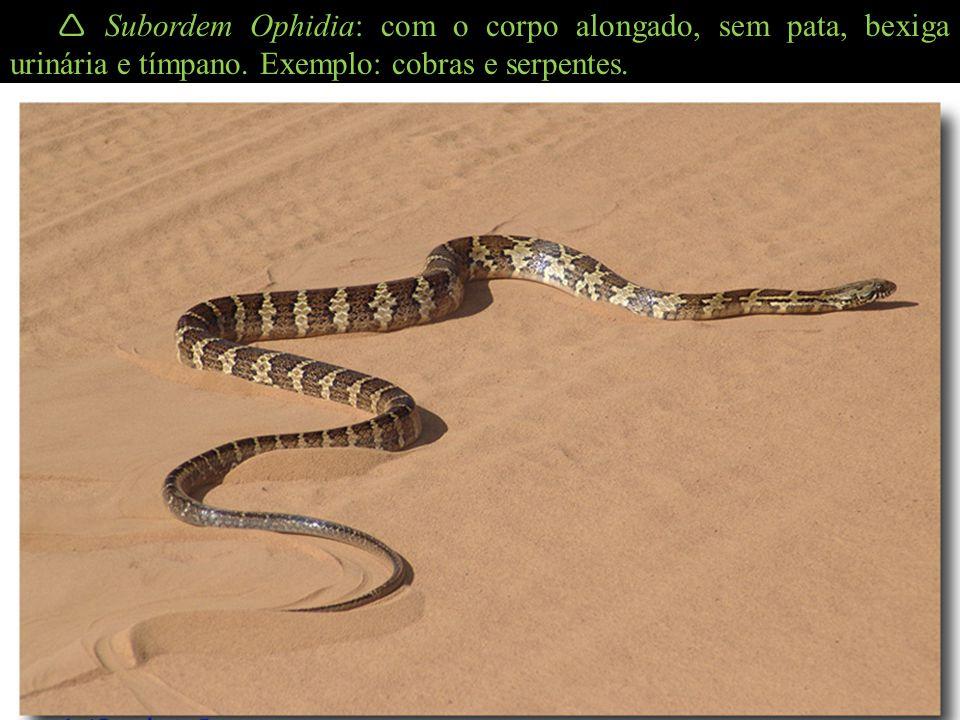 Subordem Ophidia: com o corpo alongado, sem pata, bexiga urinária e tímpano. Exemplo: cobras e serpentes.