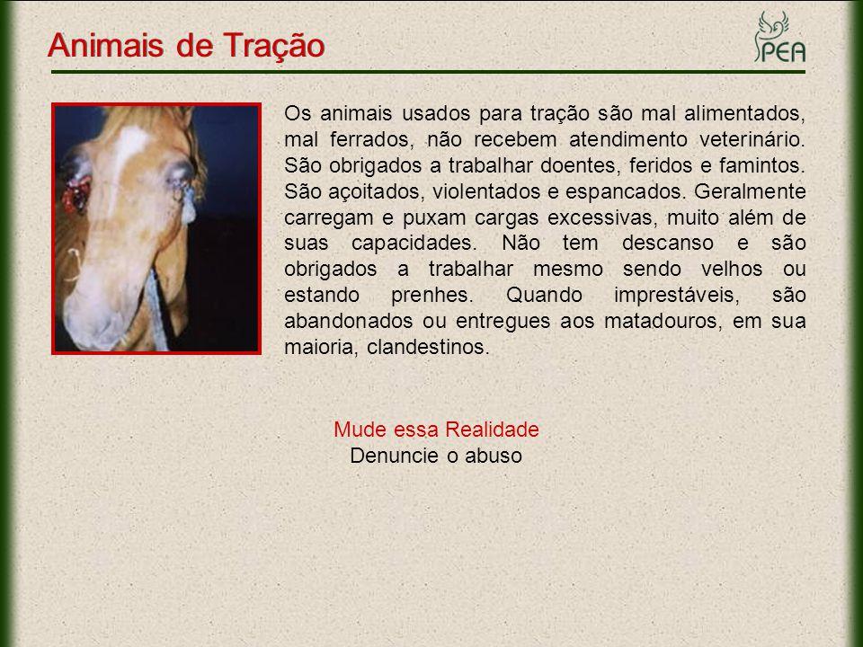 Os animais usados para tração são mal alimentados, mal ferrados, não recebem atendimento veterinário. São obrigados a trabalhar doentes, feridos e fam