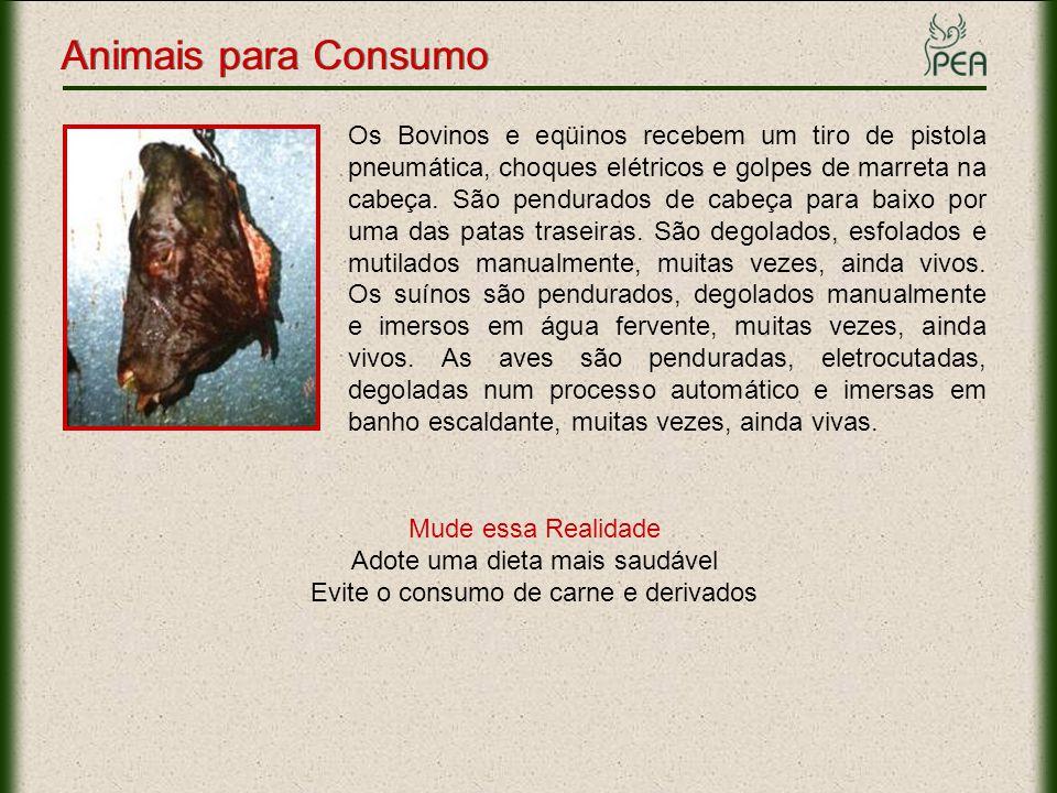 Animais para Consumo Os Bovinos e eqüinos recebem um tiro de pistola pneumática, choques elétricos e golpes de marreta na cabeça. São pendurados de ca