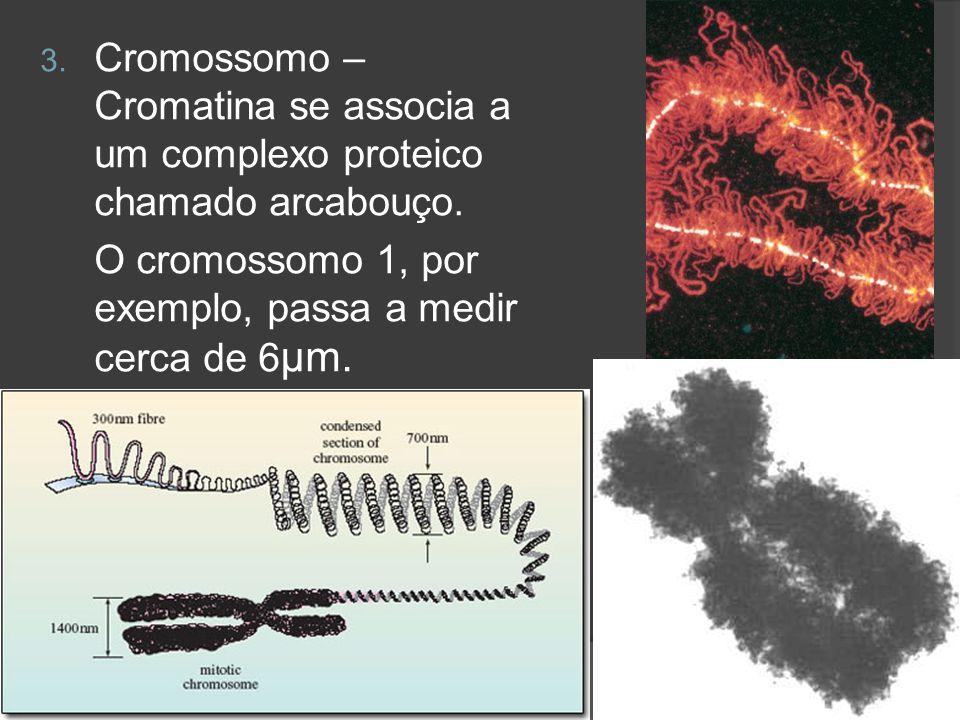3. Cromossomo – Cromatina se associa a um complexo proteico chamado arcabouço. O cromossomo 1, por exemplo, passa a medir cerca de 6 μm.