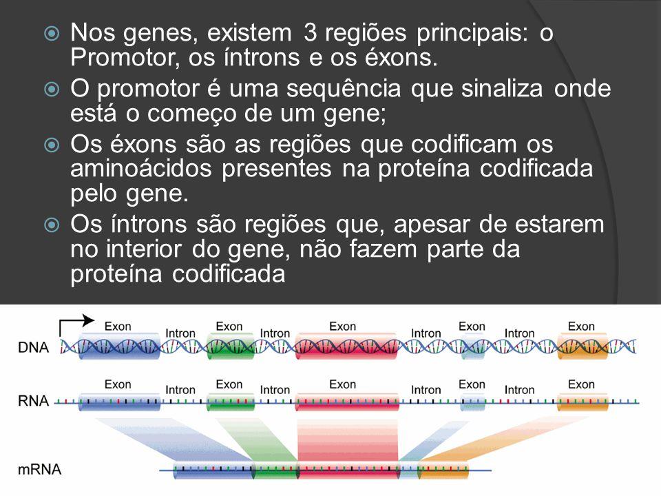 Nos genes, existem 3 regiões principais: o Promotor, os íntrons e os éxons. O promotor é uma sequência que sinaliza onde está o começo de um gene; Os