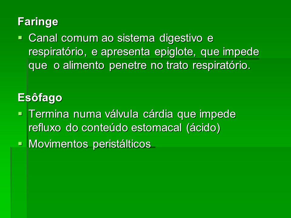 Faringe Canal comum ao sistema digestivo e respiratório, e apresenta epiglote, que impede que o alimento penetre no trato respiratório. Canal comum ao