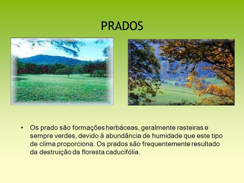 PRADOS Os prado são formações herbáceas, geralmente rasteiras e sempre verdes, devido à abundância de humidade que este tipo de clima proporciona. Os