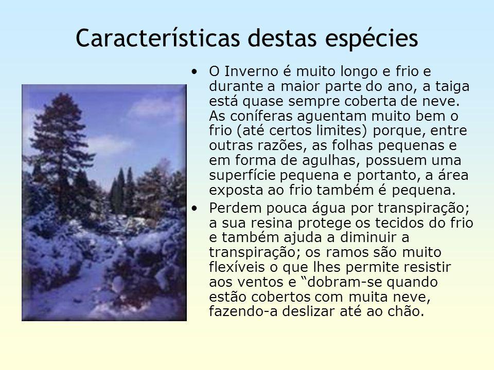 Características destas espécies O Inverno é muito longo e frio e durante a maior parte do ano, a taiga está quase sempre coberta de neve. As coníferas