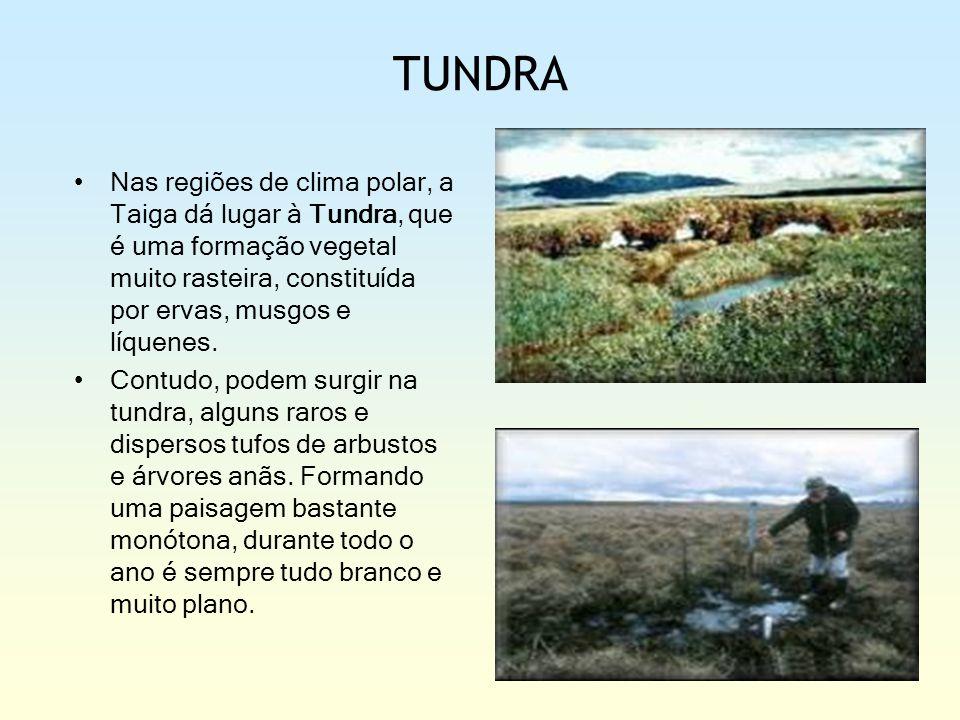 TUNDRA Nas regiões de clima polar, a Taiga dá lugar à Tundra, que é uma formação vegetal muito rasteira, constituída por ervas, musgos e líquenes. Con