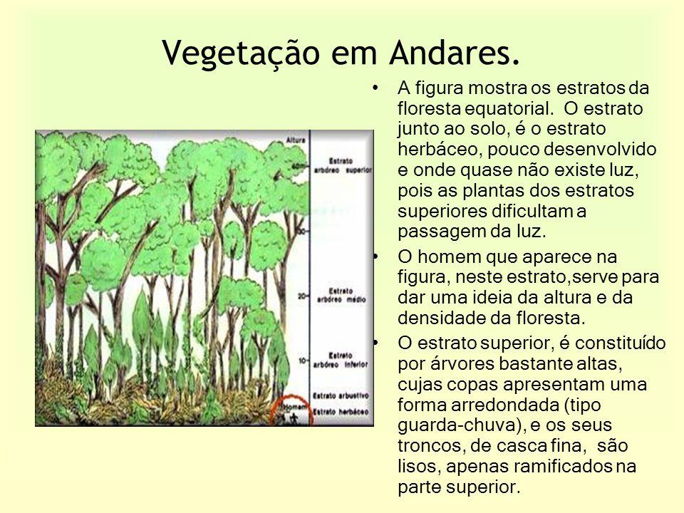 Vegetação em Andares. A figura mostra os estratos da floresta equatorial. O estrato junto ao solo, é o estrato herbáceo, pouco desenvolvido e onde qua