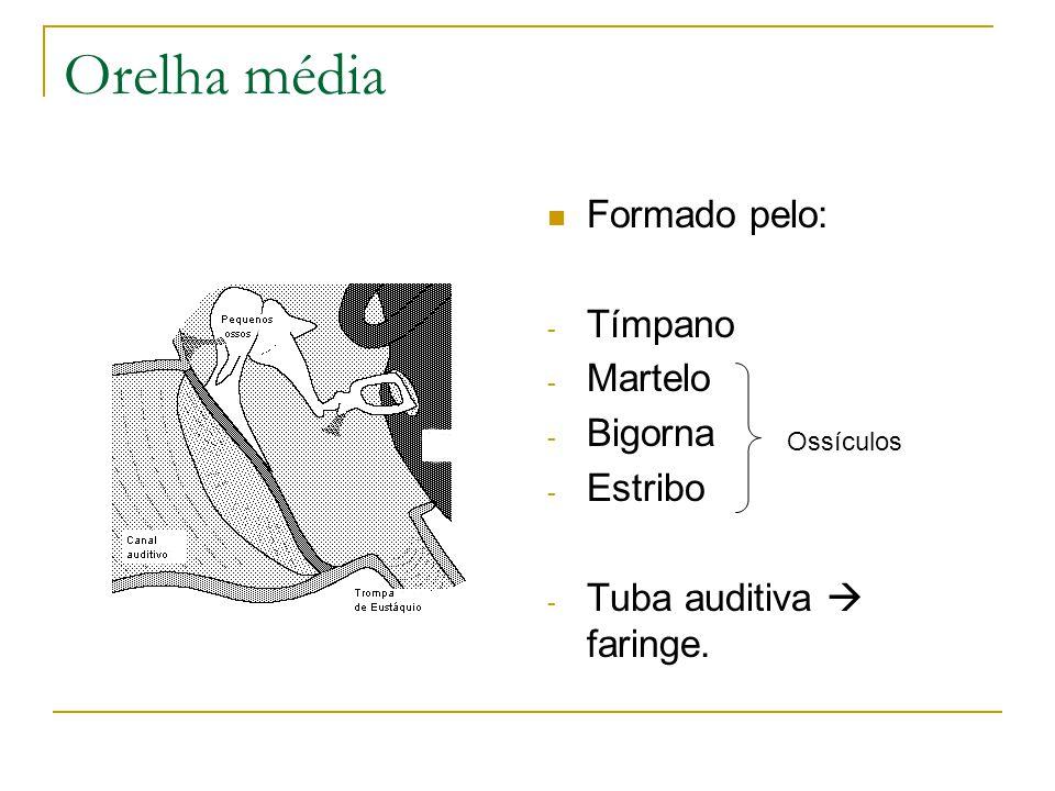Orelha média Formado pelo: - Tímpano - Martelo - Bigorna - Estribo - Tuba auditiva faringe.