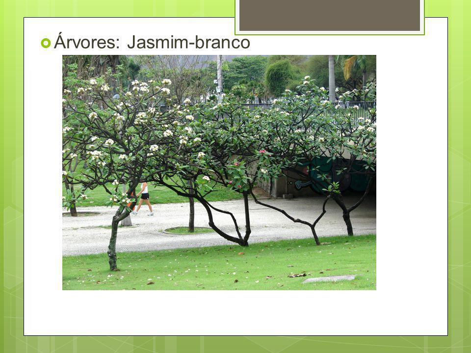 Árvores: Jasmim-branco