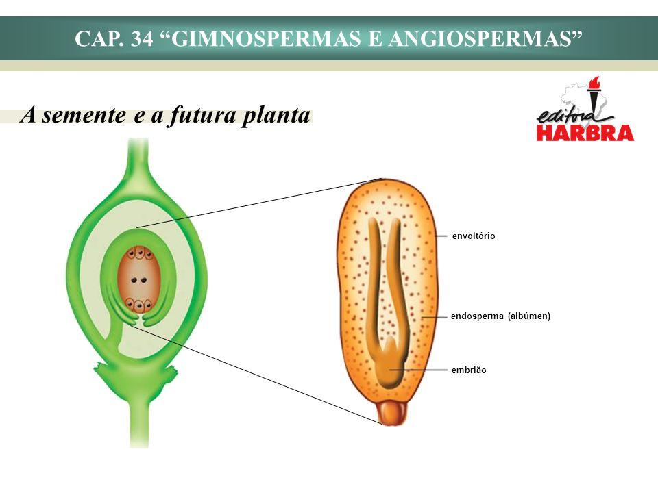 CAP. 34 GIMNOSPERMAS E ANGIOSPERMAS A semente e a futura planta envoltório endosperma (albúmen) embrião