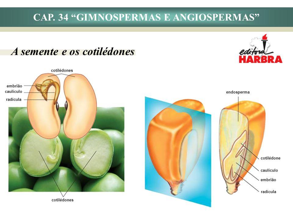 CAP. 34 GIMNOSPERMAS E ANGIOSPERMAS A semente e os cotilédones cotilédones embrião caulículo radícula cotilédones endosperma cotilédone embrião caulíc