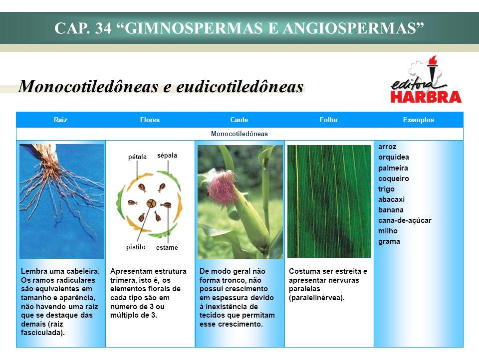 CAP. 34 GIMNOSPERMAS E ANGIOSPERMAS Monocotiledôneas e eudicotiledôneas arroz orquídea palmeira coqueiro trigo abacaxi banana cana-de-açúcar milho gra