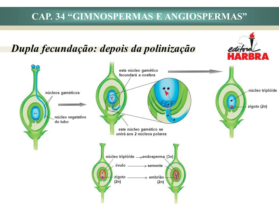 CAP. 34 GIMNOSPERMAS E ANGIOSPERMAS Dupla fecundação: depois da polinização núcleos gaméticos núcleo vegetativo do tubo núcleo triplóide zigoto (2n) e