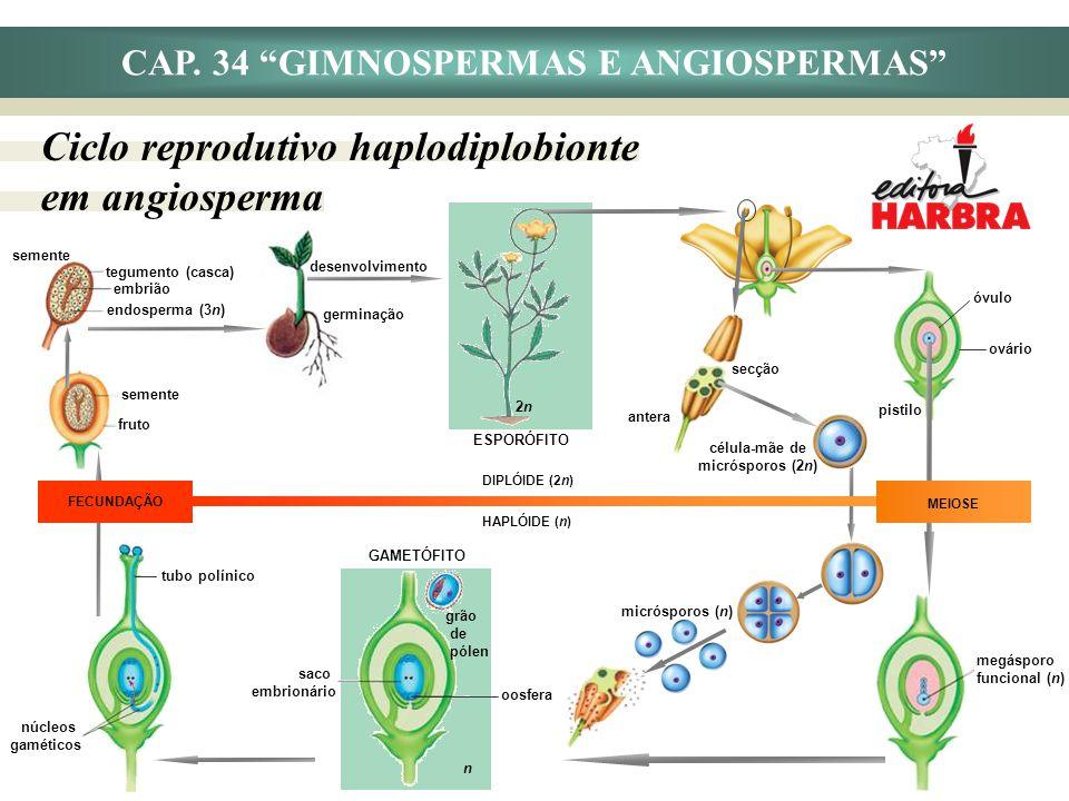 germinação fruto semente óvulo ovário pistilo CAP. 34 GIMNOSPERMAS E ANGIOSPERMAS Ciclo reprodutivo haplodiplobionte em angiosperma oosfera saco embri