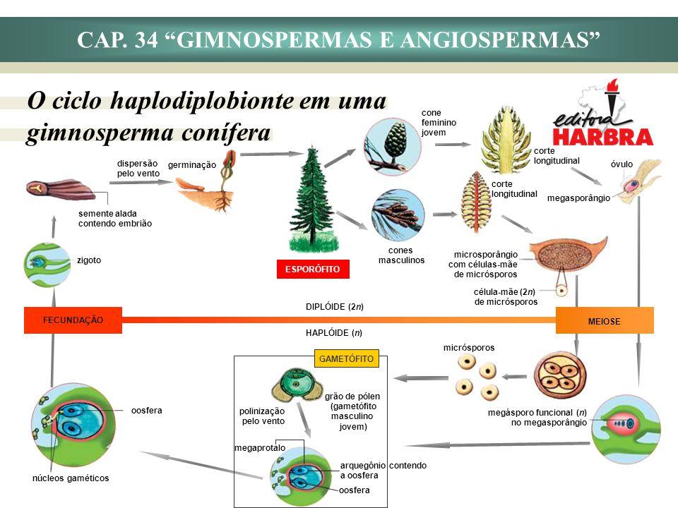 ESPORÓFITO CAP. 34 GIMNOSPERMAS E ANGIOSPERMAS O ciclo haplodiplobionte em uma gimnosperma conífera cones masculinos corte longitudinal microsporângio
