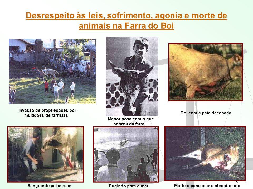 5 Desrespeito às leis, sofrimento, agonia e morte de animais na Farra do Boi Invasão de propriedades por multidões de farristas Menor posa com o que s