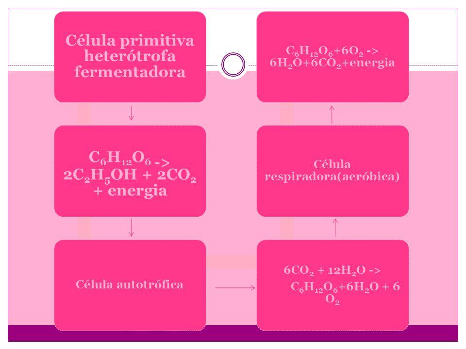 Célula primitiva heterótrofa fermentadora C6H12O 6 -> 2C 2 H5OH + 2CO2 + energia Célula autotrófica 6CO2 + 12H2O -> C 6 H 12 O 6 +6H 2 O + 6 O 2 Célul