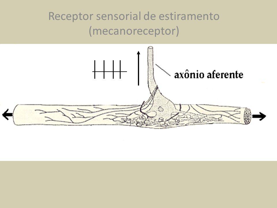Receptor sensorial de estiramento (mecanoreceptor)