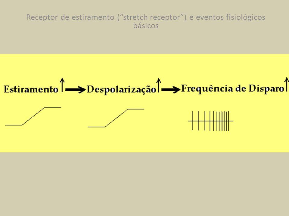 Receptor de estiramento (stretch receptor) e eventos fisiológicos básicos