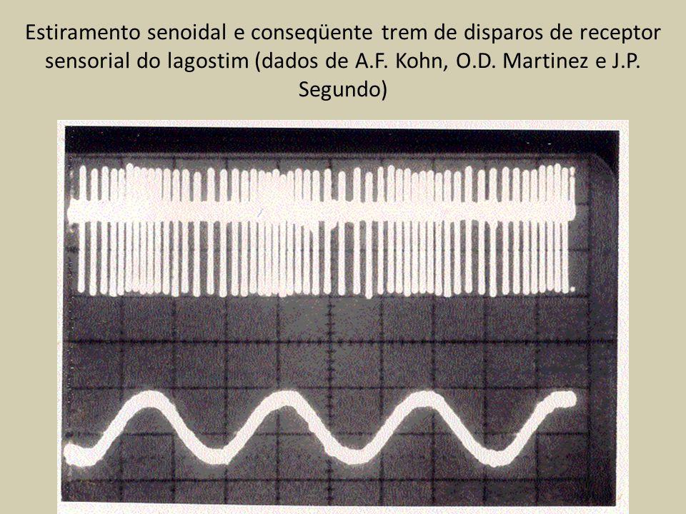 Estiramento senoidal e conseqüente trem de disparos de receptor sensorial do lagostim (dados de A.F. Kohn, O.D. Martinez e J.P. Segundo)