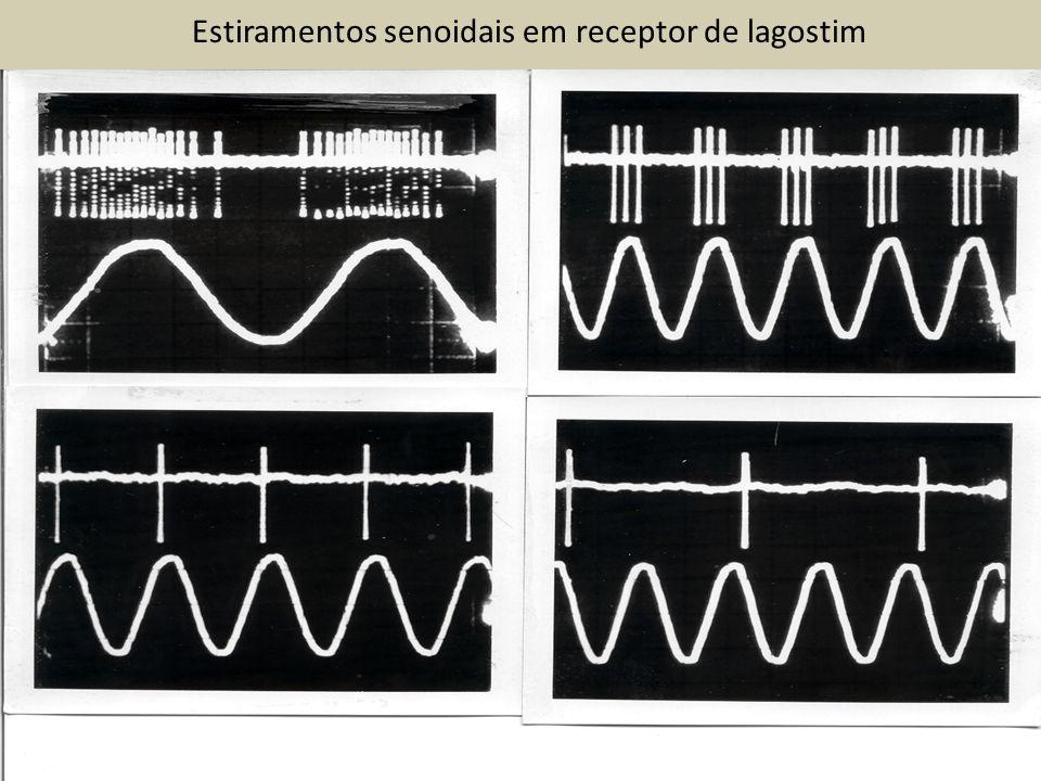 Estiramentos senoidais em receptor de lagostim