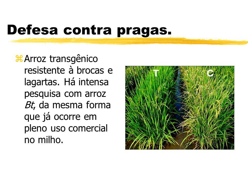 Defesa contra pragas.zArroz transgênico resistente à brocas e lagartas.