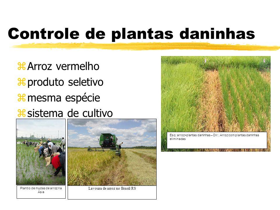 Defesa contra doenças zBrusone zQueima das bainhas (quitinases) Gene Xa21 foi isolado do parente do arroz cultivado Oryza longistaminata - Xantomonas (Yan & Kerr, 2002) Viroses diversas (RNA antisense)