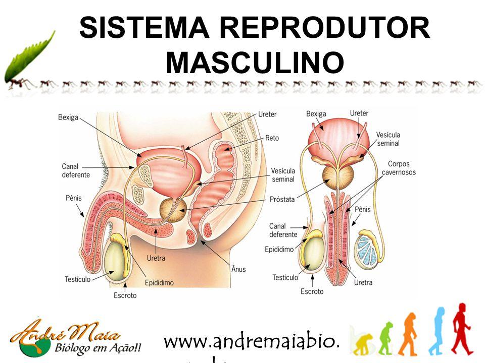 www.andremaiabio. com.br SISTEMA REPRODUTOR MASCULINO