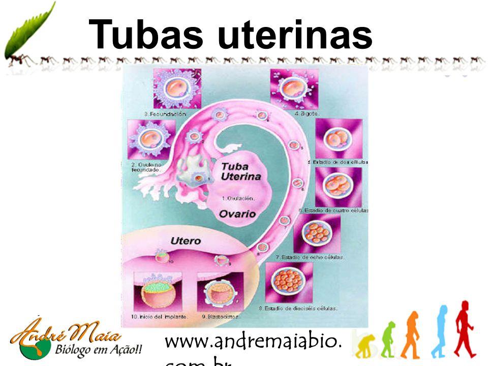 www.andremaiabio. com.br Tubas uterinas Local de liberação do gameta feminino; Na maioria dos casos é onde ocorre a fecundação; Conduz o embrião em de