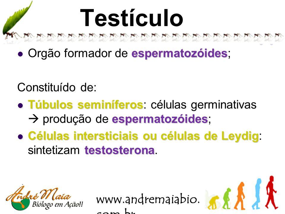 www.andremaiabio. com.br Bolsa escrotal testículos bolsa de pele situada abaixo do pênis, que aloja os testículos