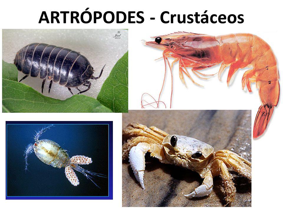 ARTRÓPODES - Crustáceos