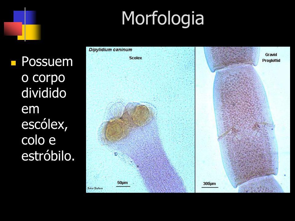 Morfologia Possuem o corpo dividido em escólex, colo e estróbilo.