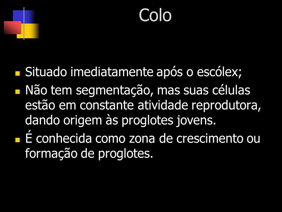 Colo Situado imediatamente após o escólex; Não tem segmentação, mas suas células estão em constante atividade reprodutora, dando origem às proglotes j