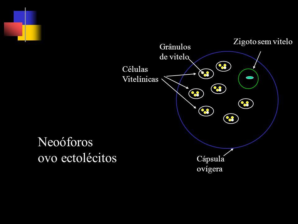 Grânulos de vitelo Células Vitelínicas Zigoto sem vitelo Cápsula ovígera Neoóforos ovo ectolécitos