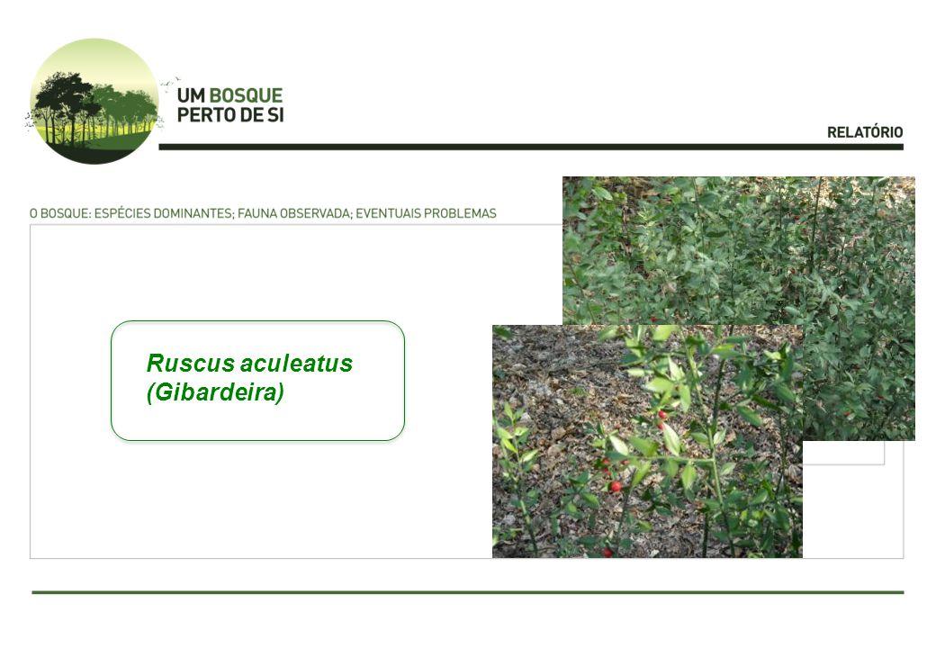 Ruscus aculeatus (Gibardeira)