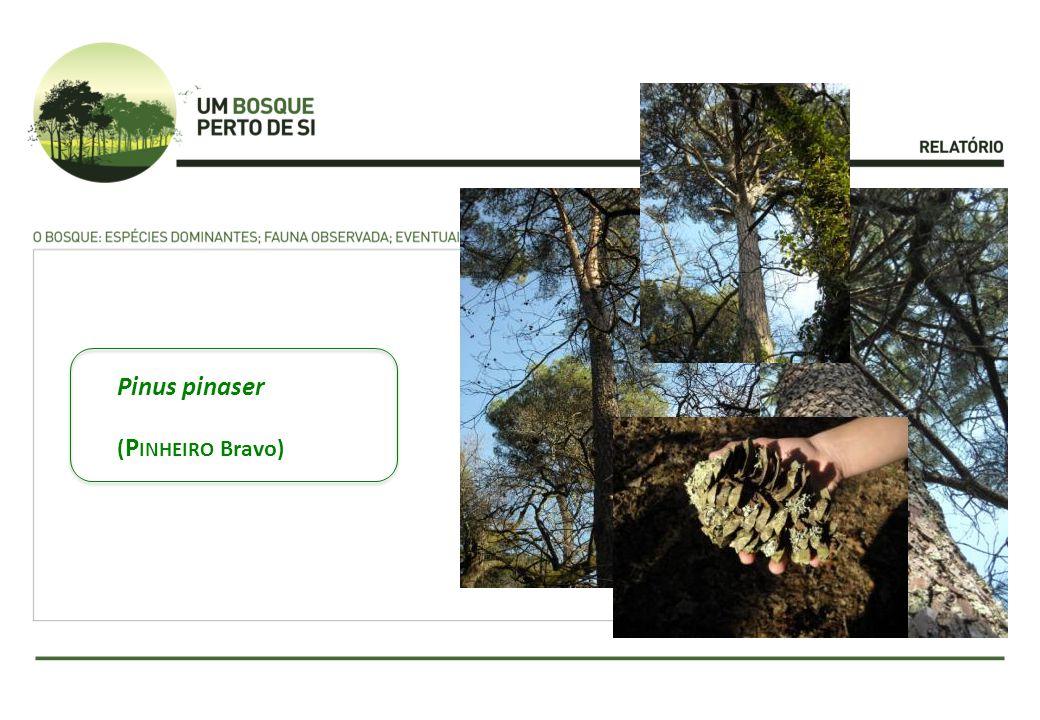 Pinus pinaser ( P INHEIRO Bravo)