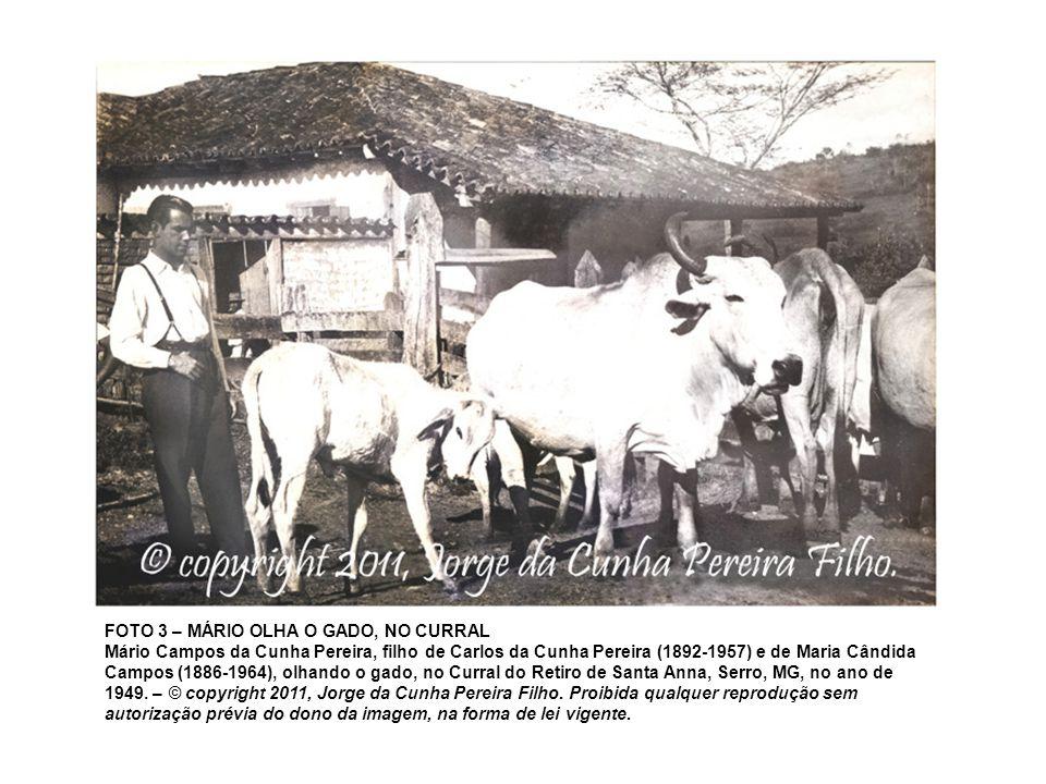 FOTO 3 – MÁRIO OLHA O GADO, NO CURRAL Mário Campos da Cunha Pereira, filho de Carlos da Cunha Pereira (1892-1957) e de Maria Cândida Campos (1886-1964