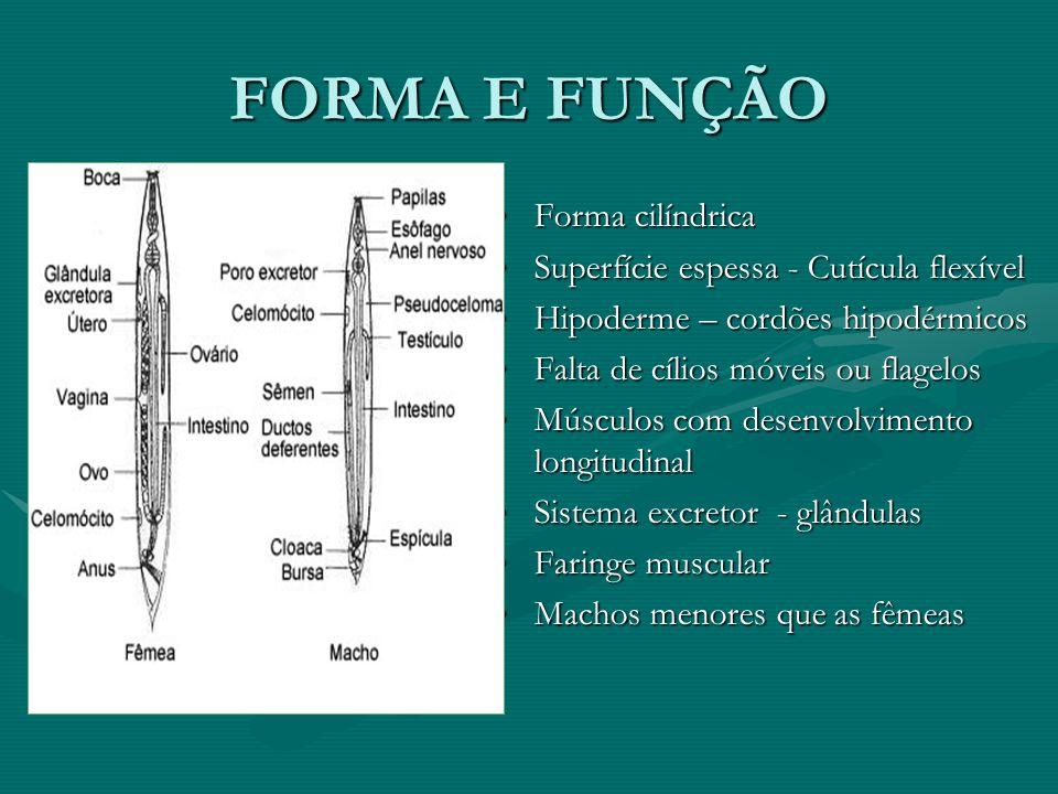 FORMA E FUNÇÃO Forma cilíndrica Superfície espessa - Cutícula flexível Hipoderme – cordões hipodérmicos Falta de cílios móveis ou flagelos Músculos co
