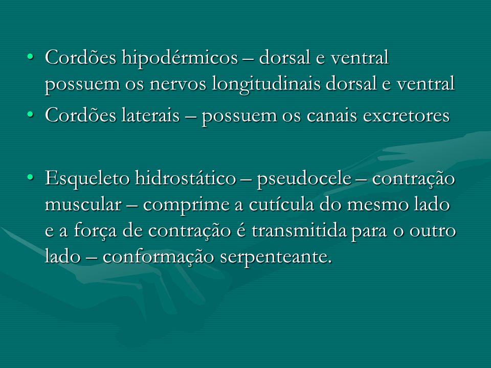 Cordões hipodérmicos – dorsal e ventral possuem os nervos longitudinais dorsal e ventralCordões hipodérmicos – dorsal e ventral possuem os nervos long
