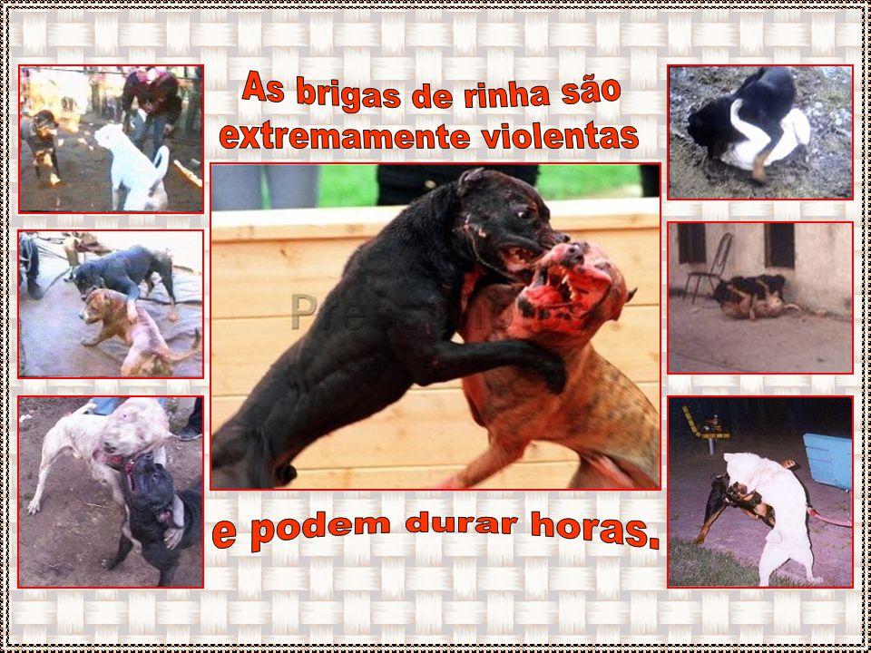 Nas vésperas do combate, os cães são deixados por dias, solitários no escuro, ficando mais agressivos. Não recebem água para desidratarem e sangrarem