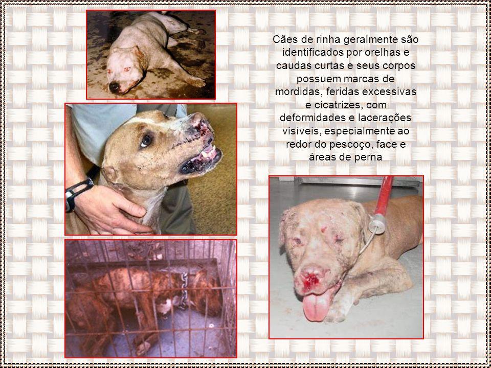 Alguns donos anestesiam partes do corpo do animal mais sujeitas a lacerações, obrigando-os a combates sucessivos e extenuantes. Freqüentemente estas ú