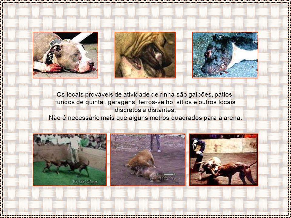 Cães de rinha geralmente são identificados por orelhas e caudas curtas e seus corpos possuem marcas de mordidas, feridas excessivas e cicatrizes, com