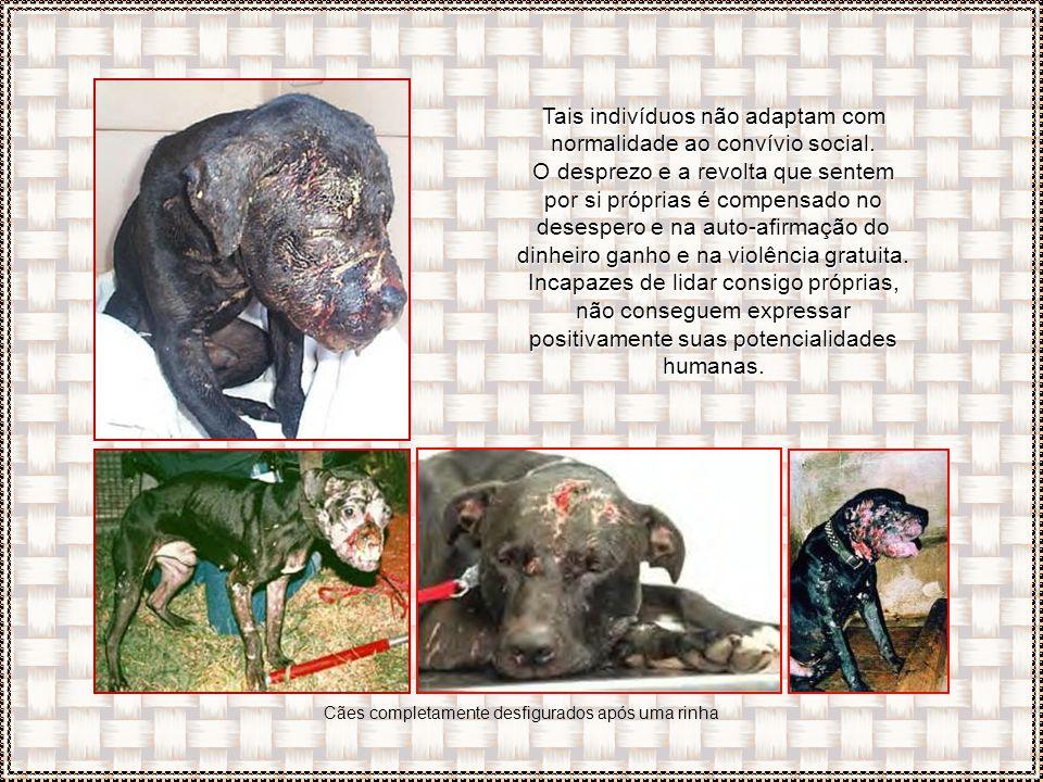 Essas raças caninas são vítimas do comportamento de alguns humanos. E as pessoas envolvidas em Dog Fighting freqüentemente praticam outras atividades