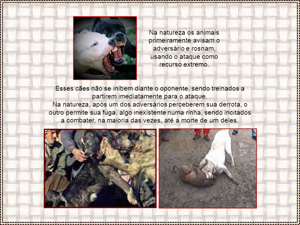 Os cães geralmente treinados para combates são os pit bulls, rottweilers, dobermanns, filas, pastores alemães, bull terriers, dogos, mastinos e mastif