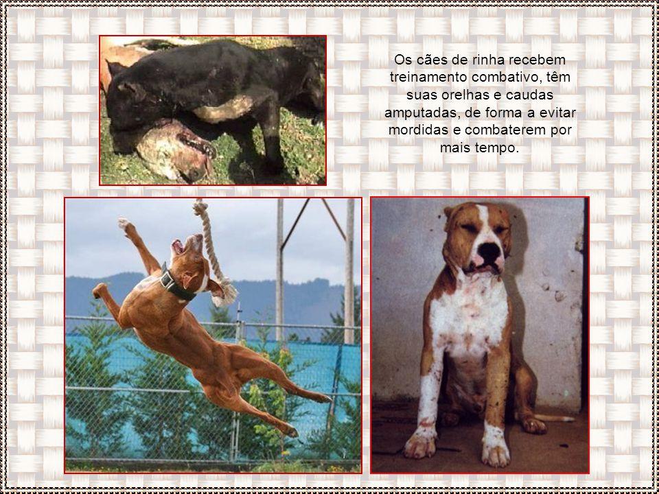 Na natureza os animais primeiramente avisam o adversário e rosnam, usando o ataque como recurso extremo. Esses cães não se inibem diante o oponente, s
