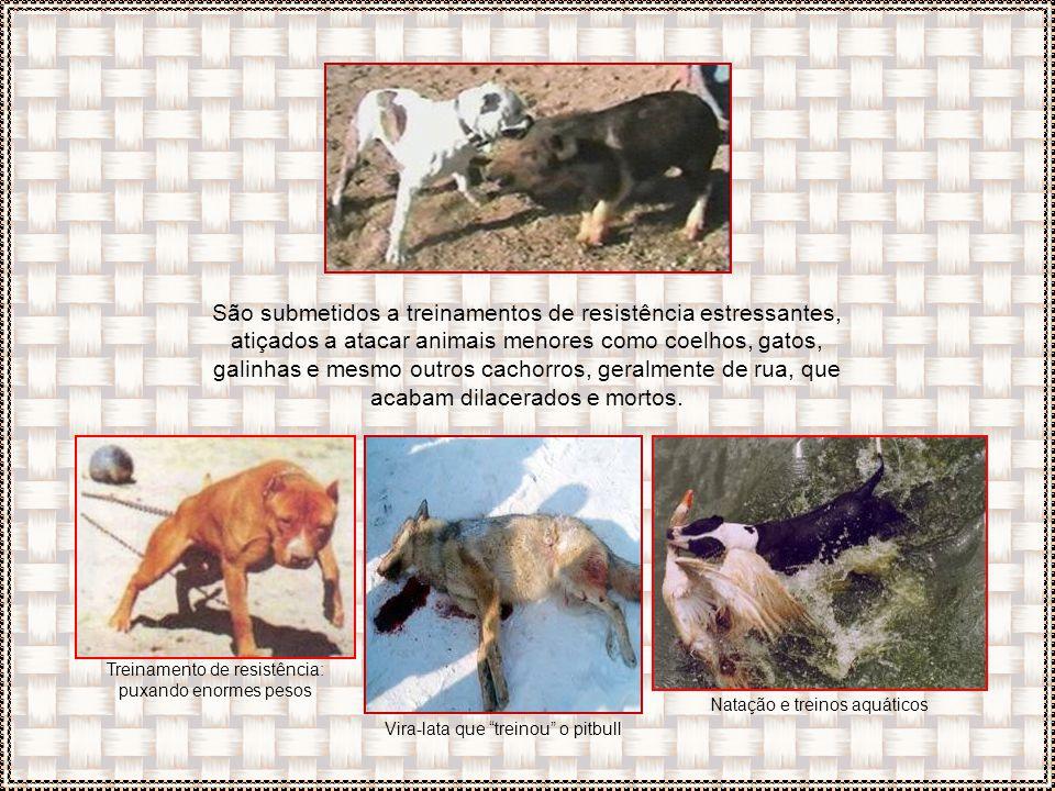 São submetidos a treinamentos de resistência estressantes, atiçados a atacar animais menores como coelhos, gatos, galinhas e mesmo outros cachorros, geralmente de rua, que acabam dilacerados e mortos.