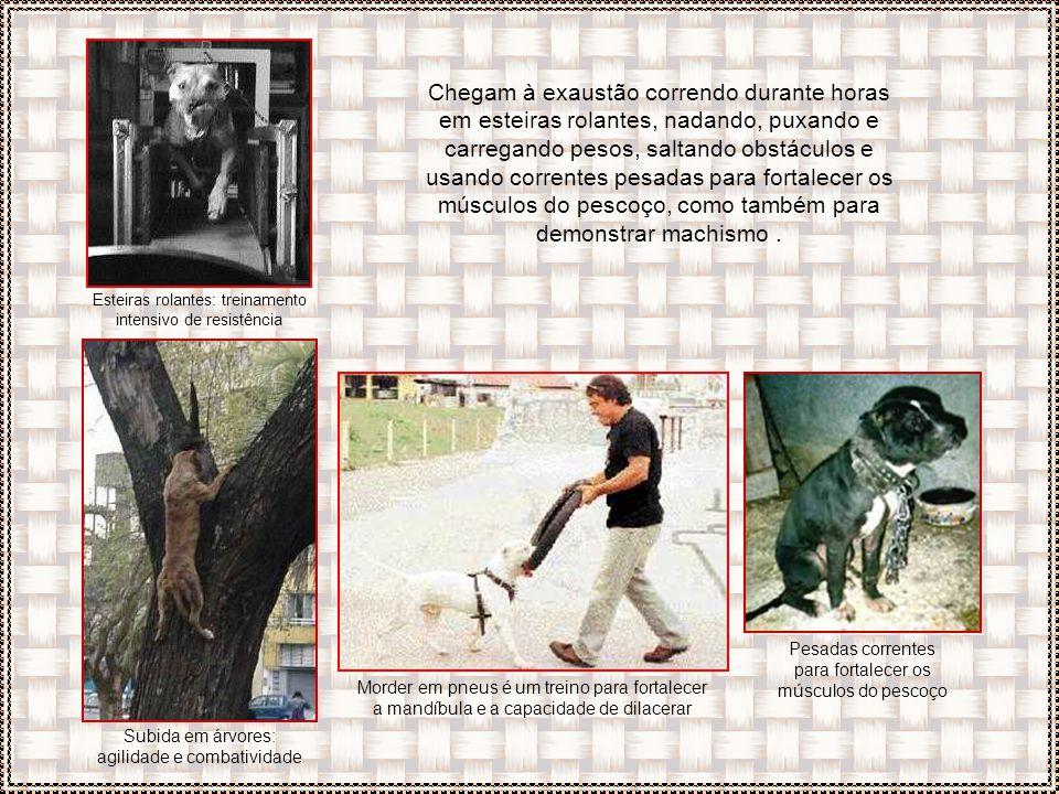 São submetidos a treinamentos de resistência estressantes, atiçados a atacar animais menores como coelhos, gatos, galinhas e mesmo outros cachorros, g