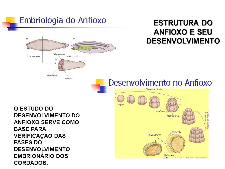 O ESTUDO DO DESENVOLVIMENTO DO ANFIOXO SERVE COMO BASE PARA VERIFICAÇÃO DAS FASES DO DESENVOLVIMENTO EMBRIONÁRIO DOS CORDADOS. ESTRUTURA DO ANFIOXO E