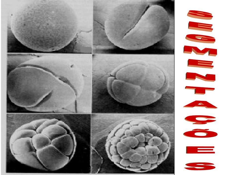 HOLOBLÁSTICA / TOTAL TOTAL DESIGUAL Ocorre em ovos heterolécitos e, devido à desigual distribuição do vitelo, produz blastômeros de tamanhos diferentes.